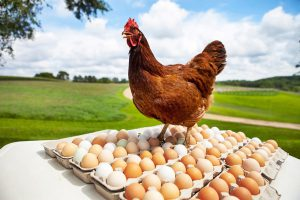 Rhode-Island-Red-Hen-Chicken-and-Eggs-3